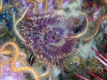 羽毛喷粉器蠕虫 图库摄影