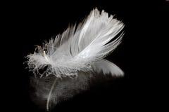 羽毛天鹅 库存图片