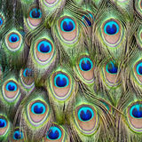 羽毛孔雀尾标 免版税图库摄影