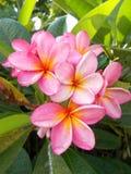 羽毛开花在树的桃红色白色黄色 库存图片