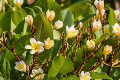 羽毛或赤素馨花开花在羽毛树 库存照片