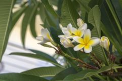 羽毛晨曲热带常青灌木在绽放,白色黄色开花植物开花 库存图片