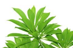羽毛树,形状绿色样式叶子隔绝在白色背景 免版税图库摄影