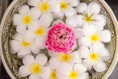 羽毛温泉开花在与桃红色莲花的水 库存图片