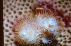 羽毛珊瑚 免版税库存照片