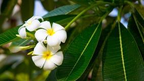羽毛花是白色的,并且黄色在树开花 自然本底 库存图片