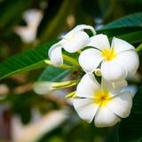 羽毛花是白色的,并且黄色在树开花 自然本底 免版税图库摄影