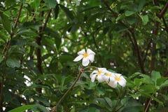 羽毛花沙漠玫瑰白色美丽在树共同的名字夹竹桃科,赤素馨花,塔,寺庙 库存图片