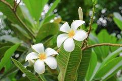 羽毛花沙漠玫瑰白色美丽在树科学名字,夹竹桃科,赤素馨花,塔,寺庙 库存照片