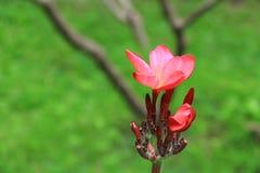 羽毛花红色或沙漠玫瑰美丽在树共同的名字夹竹桃科,赤素馨花,塔,寺庙 免版税图库摄影