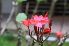 羽毛花红色或沙漠玫瑰美丽在树共同的名字夹竹桃科,赤素馨花,塔,寺庙 库存照片