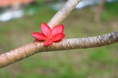 羽毛花红色或沙漠玫瑰美丽在树共同的名字夹竹桃科,赤素馨花,塔,寺庙 免版税库存图片