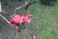 羽毛花红色或沙漠玫瑰美丽在树共同的名字夹竹桃科,赤素馨花,塔,寺庙 图库摄影