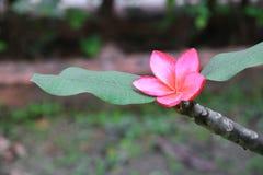 羽毛花红色或沙漠玫瑰美丽在树共同的名字夹竹桃科,赤素馨花,塔,寺庙 库存图片