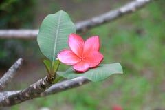 羽毛花红色或沙漠玫瑰美丽在树共同的名字夹竹桃科,赤素馨花,塔,寺庙 免版税库存照片