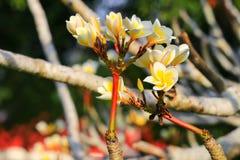 羽毛花黄色或沙漠玫瑰美丽在树共同的名字夹竹桃科,赤素馨花,塔,寺庙 库存照片