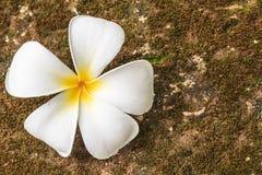 羽毛花,美好的白色 免版税库存照片