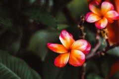 羽毛赤素馨花用与绿色黑暗和黑迷离背景的古铜进来华美的玫瑰桃红色颜色掠过的Hawai花 免版税库存照片
