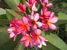 羽毛赤素馨花 库存照片