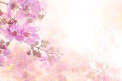 从羽毛赤素馨花的抽象软的甜桃红色花背景开花 库存照片