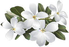 羽毛赤素馨花花 库存照片