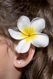 羽毛,在耳朵后的赤素馨花 库存图片