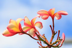 羽毛黄色和桃红色在室外的庭院里 图库摄影