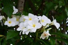 羽毛/赤素馨花花 库存照片