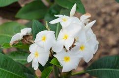 羽毛(赤素馨花)在树开花(其他名字frangipan 免版税库存照片