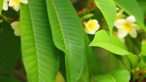 羽毛rubra共同的赤素馨花开花的花 股票视频