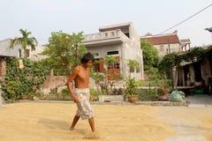 羽渭DUONG,越南, 10月, 9日:可怜的在harve以后的农夫干米 免版税库存照片