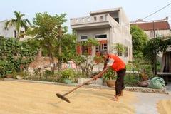 羽渭DUONG,越南, 10月, 9日:可怜的在harve以后的农夫干米 图库摄影