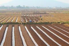 羽渭DUONG,越南, 10月, 18日:生长在t的农夫菜 免版税库存图片
