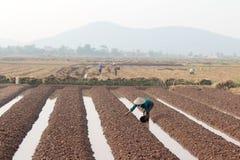 羽渭DUONG,越南, 10月, 18日:生长在t的农夫菜 库存照片