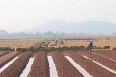 羽渭DUONG,越南, 10月, 18日:生长在t的农夫菜 免版税图库摄影