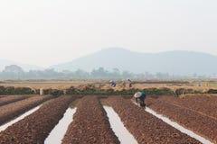 羽渭DUONG,越南, 10月, 18日:生长在t的农夫菜 免版税库存照片