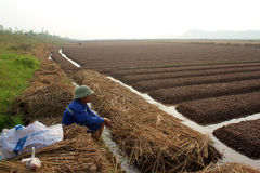 羽渭DUONG,越南, 10月, 18日:生长在t的农夫菜 库存图片