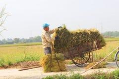 羽渭DUONG,越南, 10月, 18日:生长在t的农夫菜 图库摄影