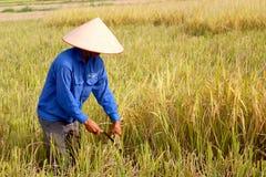 羽渭DUONG,越南, 10月, 26日:越南妇女农夫收获 免版税库存照片