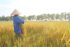 羽渭DUONG,越南, 10月, 26日:越南妇女农夫收获 库存图片