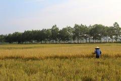 羽渭DUONG,越南, 10月, 26日:越南妇女农夫收获 图库摄影