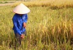 羽渭DUONG,越南, 10月, 26日:越南妇女农夫收获 免版税图库摄影