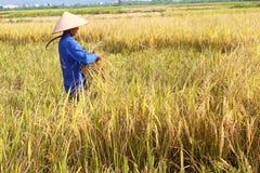 羽渭DUONG,越南, 10月, 26日:越南妇女农夫收获 免版税库存图片