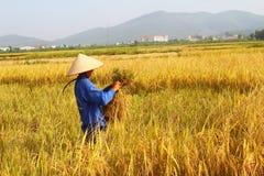 羽渭DUONG,越南, 10月, 26日:越南妇女农夫收获 库存照片