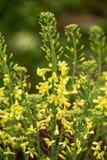 羽衣甘蓝黄色花下种子收藏的在春天庭院里 图库摄影
