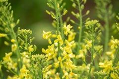 羽衣甘蓝黄色花下种子收藏的在春天庭院里 免版税库存图片