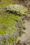 仙翁Otway -巴塔哥尼亚的植被-智利 免版税库存照片