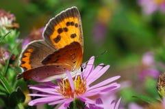 翅上有细纹的蝶红色 免版税库存照片
