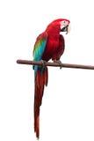 绿翅鸭在与裁减路线的白色背景隔绝的金刚鹦鹉Ara chloropterus红色鸟 免版税图库摄影