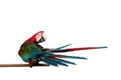 绿翅鸭在与裁减路线的白色背景隔绝的金刚鹦鹉Ara chloropterus红色鸟 免版税库存照片